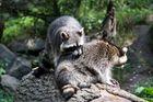 Die Waschbären kommen