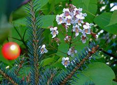 Die Weihnachtsbaumsauerkirsche am blühenden Trompetenbaum reift auch !