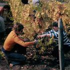 Die Weinlese in Burgund