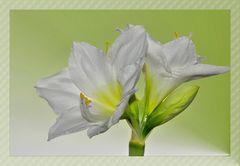 die weiße Amaryllis