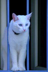 Die weisse Katze - the white cat