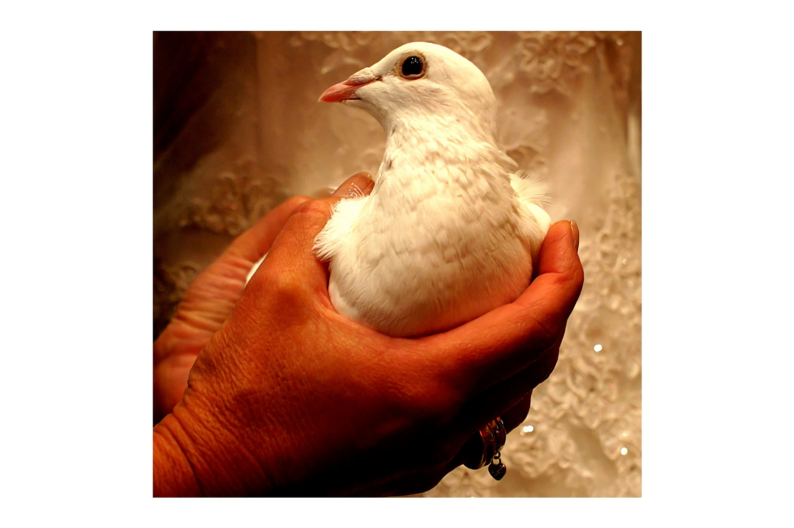 die weisse Taube