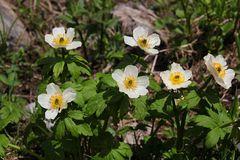 Die Weiße Trollblume (Trollius albiflorus)...