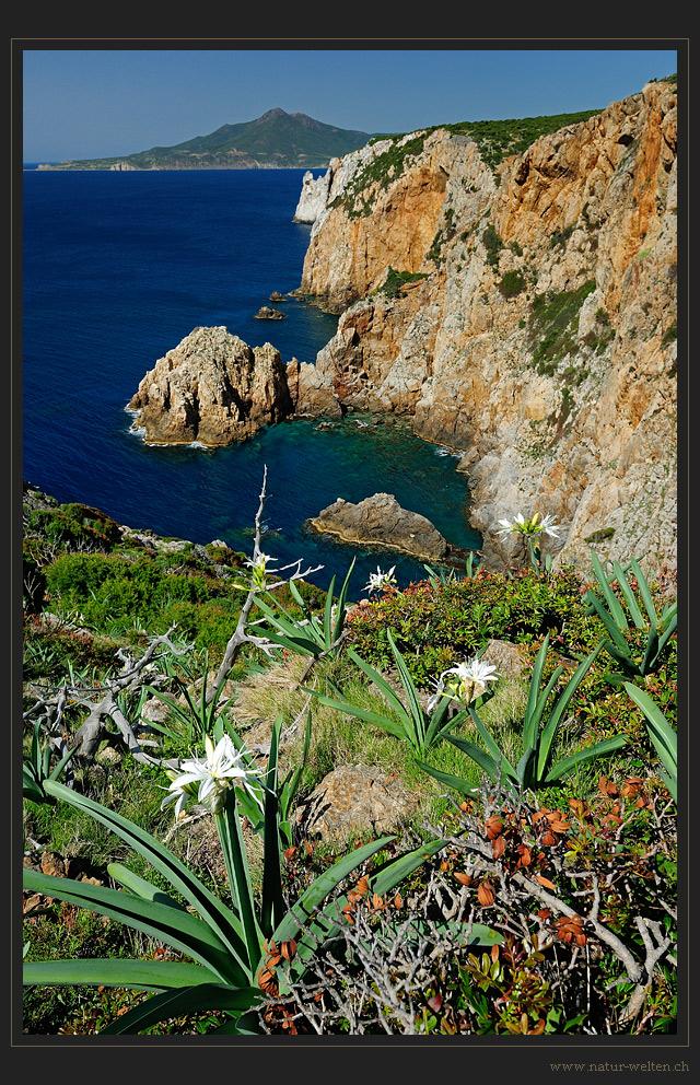 Die weissen Lilien Sardinies