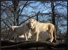 ...Die weißen Löwen...