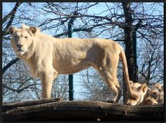 ...Die weißen Löwen... II