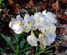 Die weißen Oleanderblüten ...