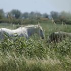 Die weißen Pferde