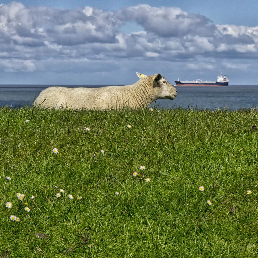 Die Welt aus der Perspektive eines Schafs