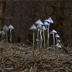 Die Welt der Pilze: Langstieliger Knoblauchschwindling