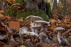 Die Welt der Pilze: Mönchskopf