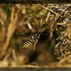 Die Wespe . . .