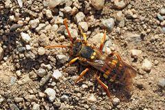 Die Wespenbiene in ihrer Funktion als Kuckucksbiene! - Une abeille avec un comportement de coucou!