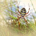 Die Wespenspinne.......... (Argiope bruennichi)
