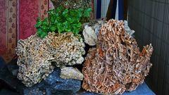Die wichtigste, seltenste und ganz besondere Pflanze ist meine PHYSOPLEXIS COMOSA...