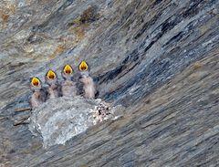 Die Wiener Sängerknaben! Junge Felsenschwalben (Ptyonoprogne rupestris). (Foto 1)