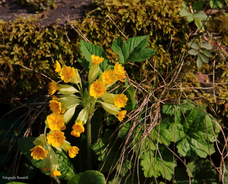 Die Wiesen-Schlüsselblume - Primula veris (Primelgewächse)