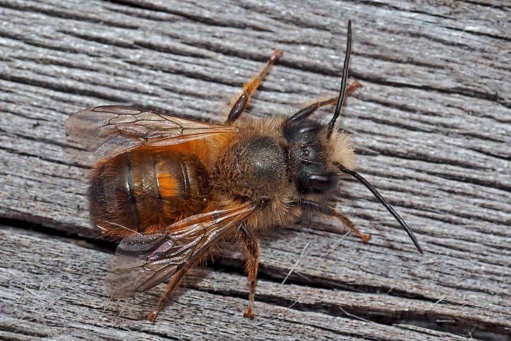 Die Wildbiene besucht unseren Balkon. - Une abeille sauvage en visite.