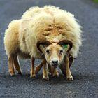 Die wilden isländischen Schafe