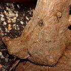 die Wildsau in der Yuccapalme
