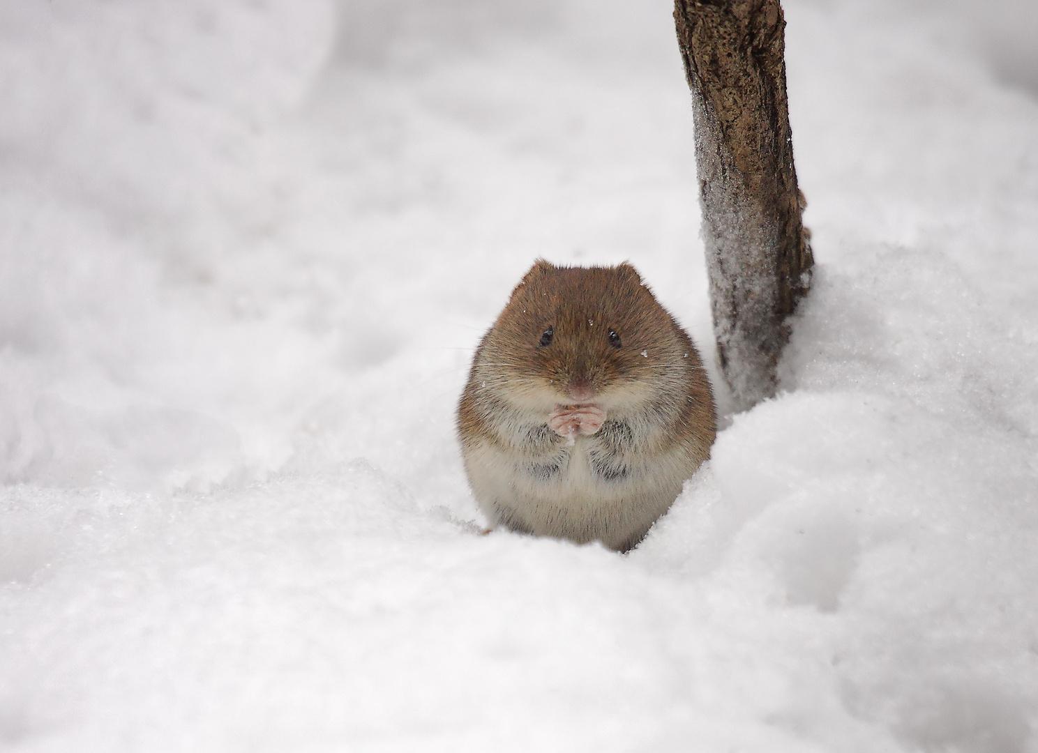 Die Wintermaus