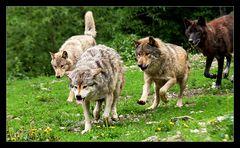Die Wölfe kommen....