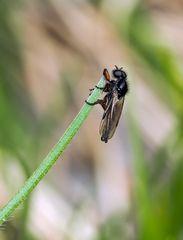 Die Wollige Haarmücke (Bibio lanigerus) geniesst die schöne Aussicht! *