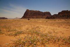 Die Wüste blüht, Wadi-Rum, Jordanien