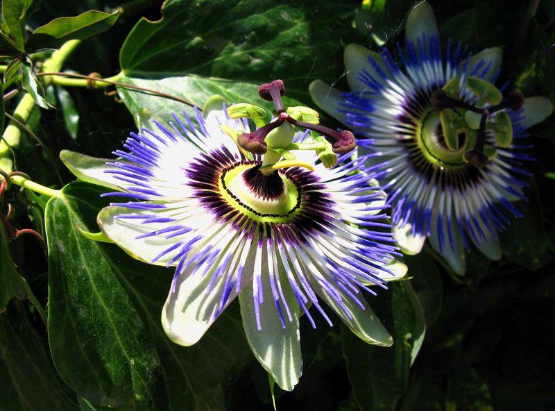 Die wunderschönen Passionsblumen. Hier voll aufgeblüht.