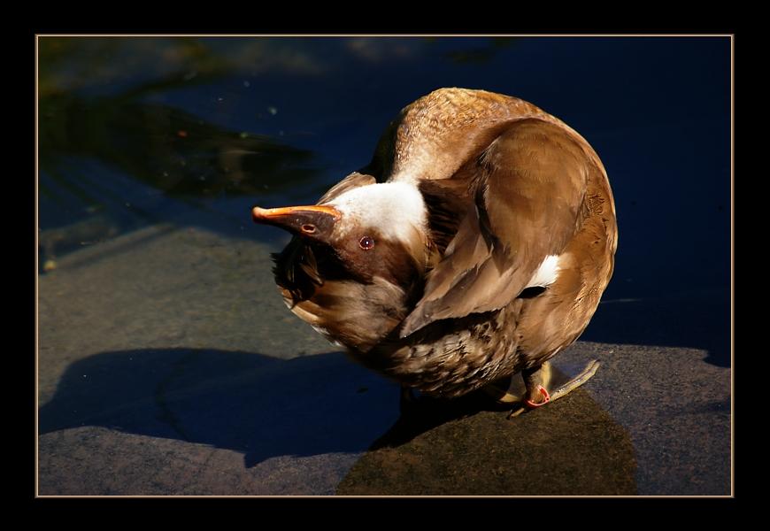 Die Yoga-Ente