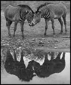 Die Zebras im Zoo tun es....