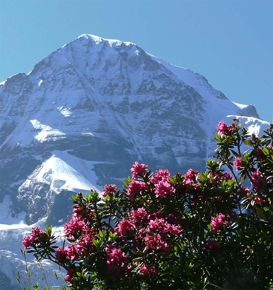 Die Zeit der Alpenrosen