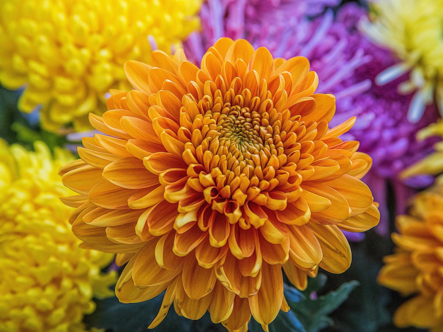 die Zeit der Chrysanthemen