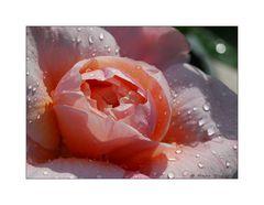 Die Zeit der Rosen [3]