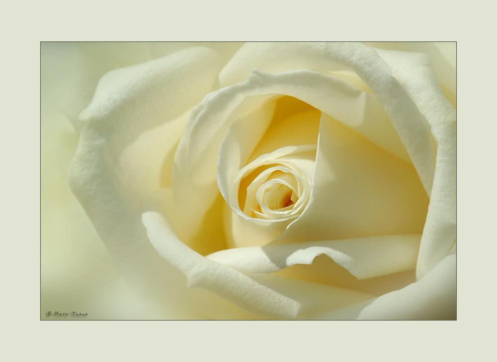 Die Zeit der Rosen [4]
