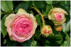 die Zeit der Rosen....