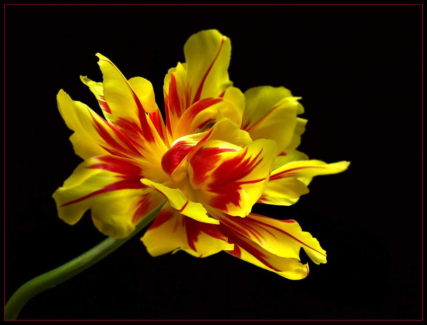 Die Zeit der schönen Tulpen ist nun leider vorbei