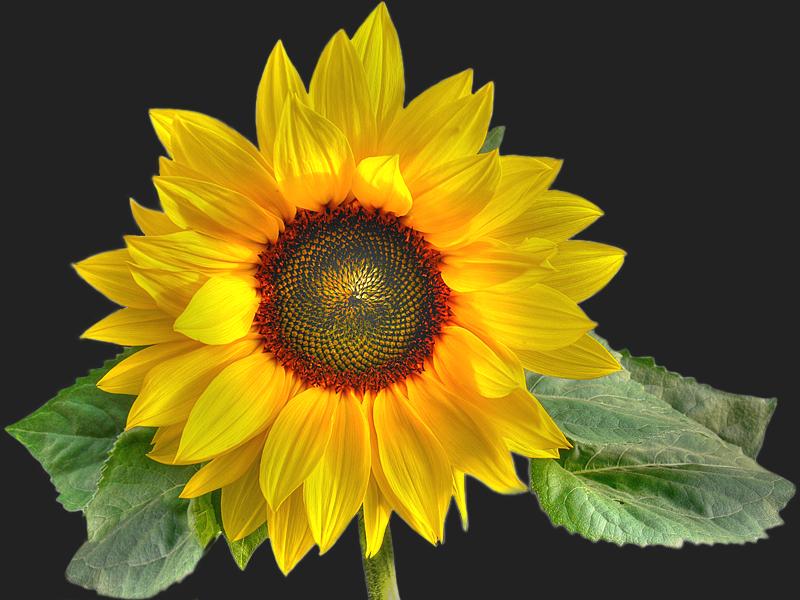Die Zeit der Sonnenblumen...