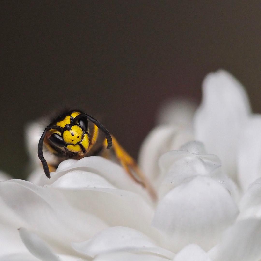 Die Zeit der Wespen geht zu Ende..