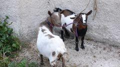 Die Ziegen von Roccacaramanico