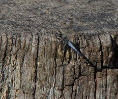 die zweite Libelle