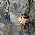 Dienstag ist Spiegeltag: Immigrantin II :Gelbwangenschildkröte