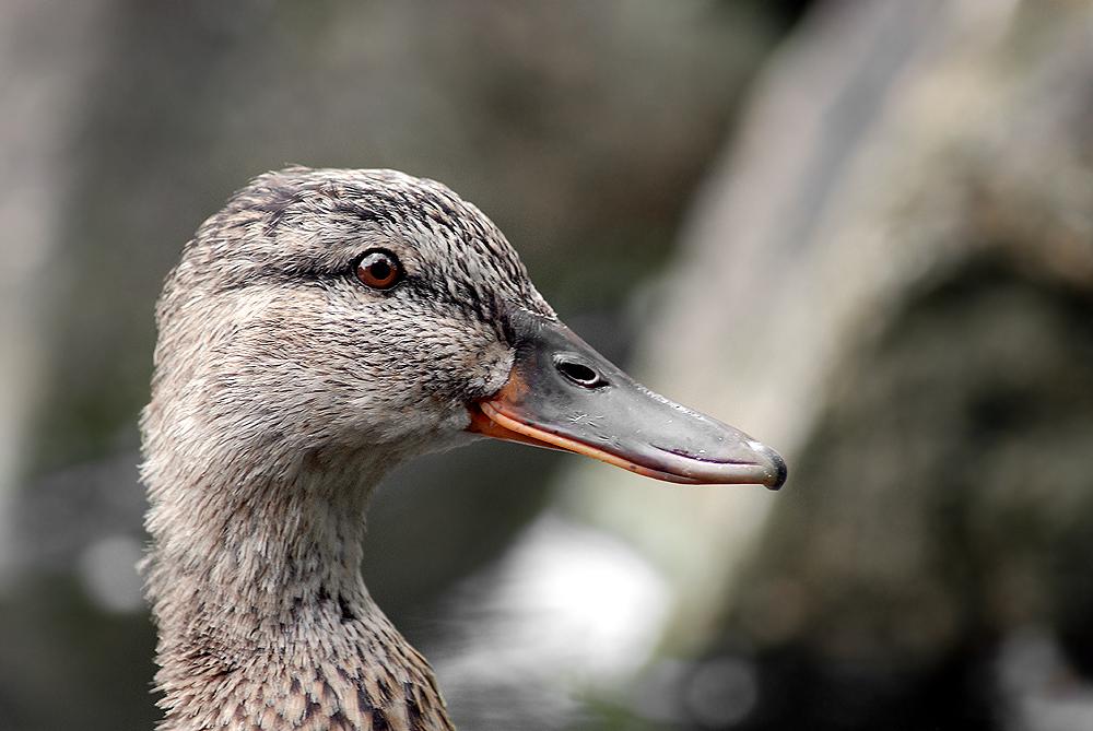 Dienstags-Duck