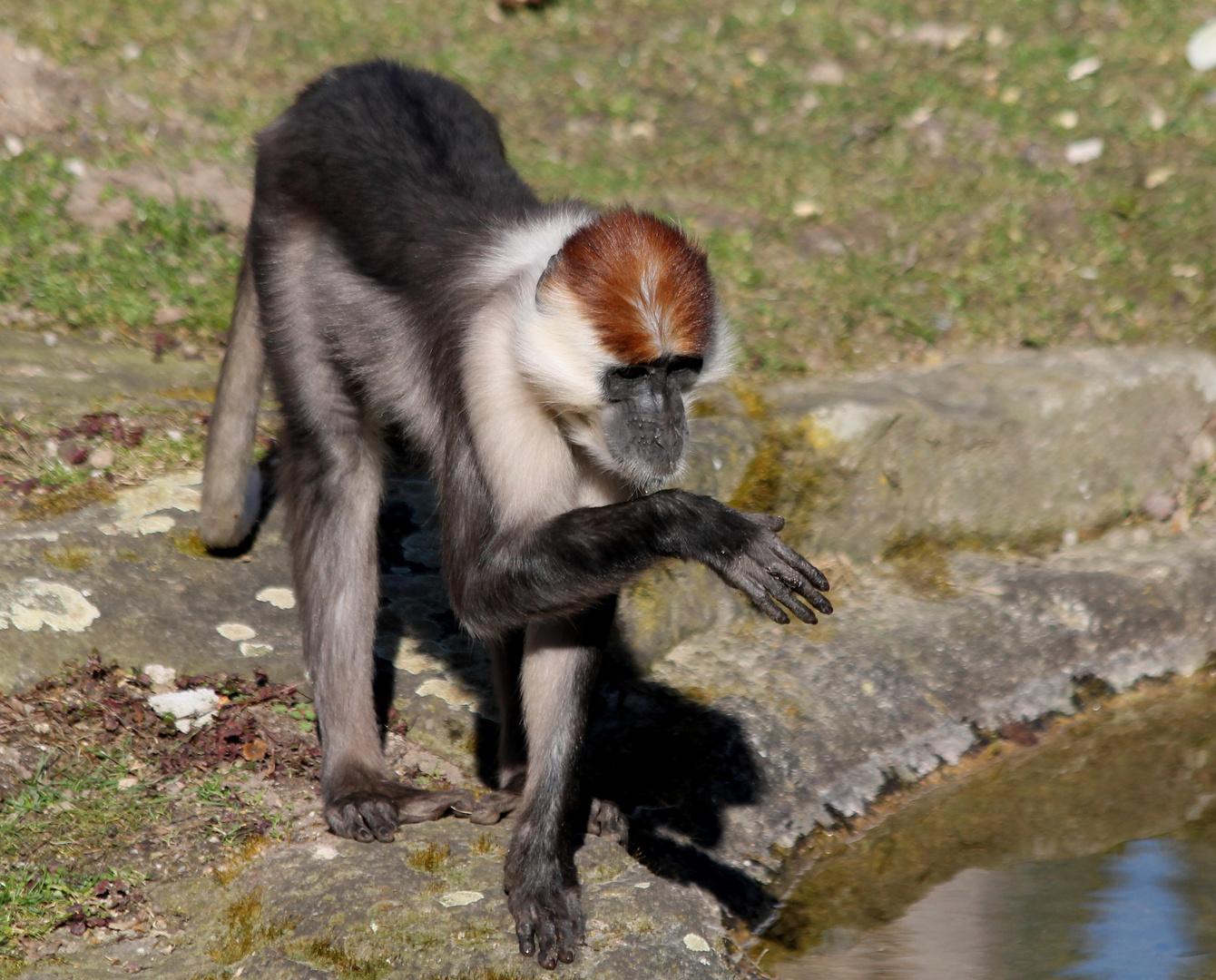 Diese Affenart lebt bei den Gorillas im Gehege