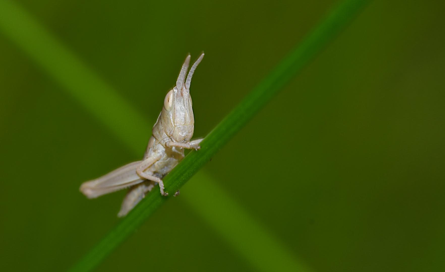 """Diese """"Baby-Heuschrecke"""" (ca. 8 mm) ist zwar kein Wetterfrosch, aber sie klettert gerne nach oben..."""