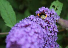 diese Biene hat die Hosentaschen ganz schön voll