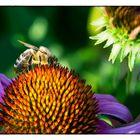 ... diese Biene lässt es sich schmecken
