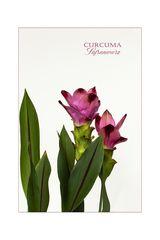 Diese Curcuma-Pflanze war die letzte...