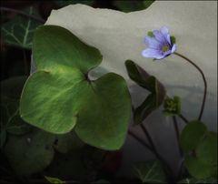 diese eine blaue Blume...