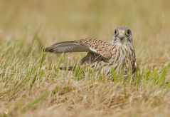 diese freundliche Turmfalken Dame (Falco tinnunculus) (1) ...